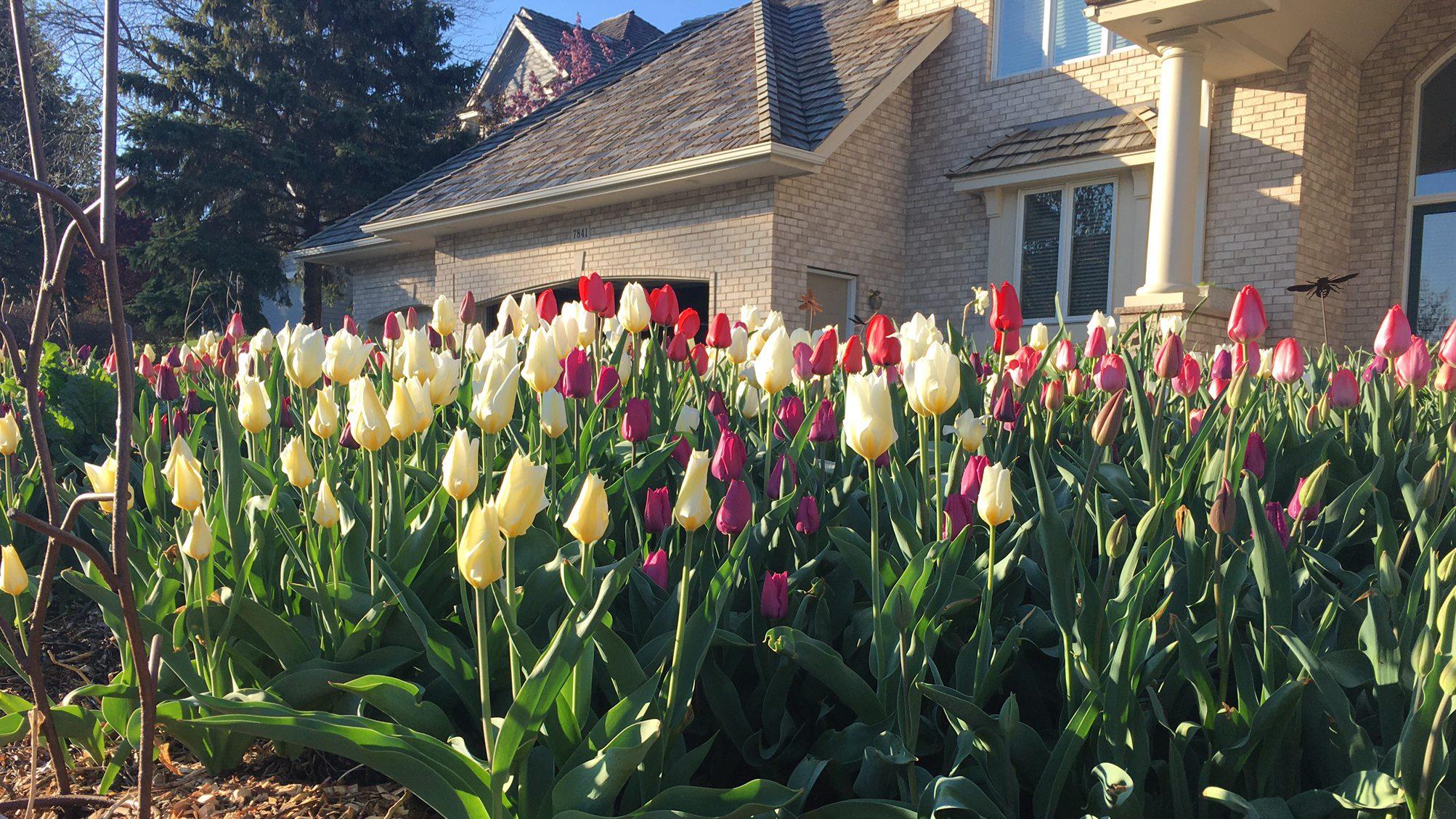 Tip for Long-lasting Tulips - Axiom Marketing